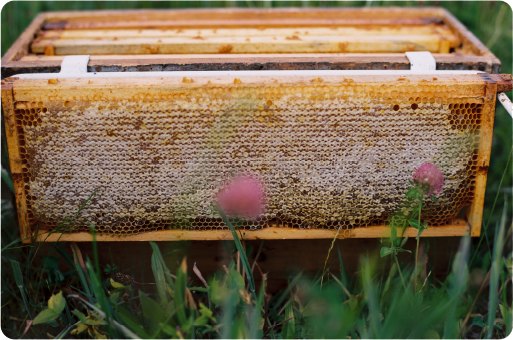 Frame of capped honey; photo credit: K. Wise photo